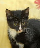 Portrait of a black and white kitten Royalty Free Stock Photo