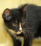 Portrait of a black and white kitten Royalty Free Stock Photography