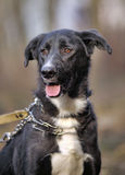 Portrait of a black-and-white not purebred dog. Royalty Free Stock Photography