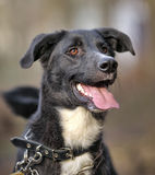 Portrait of a black-and-white not purebred dog. Royalty Free Stock Photos