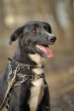 Portrait of a black-and-white not purebred dog. Stock Images