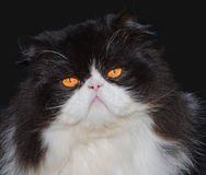 Portrait of black and white persian cat Stock Photography