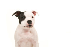 Portrait of a black and white pit bull terrier facing the camera Stock Photo