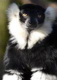 Portrait of a Black and White Ruffed Lemur Royalty Free Stock Image