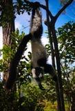 Portrait of black-and-white ruffed lemur aka Varecia variegata or Vari lemur at the tree, Atsinanana region, Madagascar stock photography
