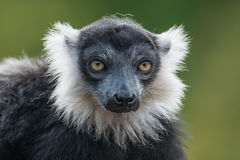 Portrait of black and white ruffed lemur at smooth background Royalty Free Stock Photo