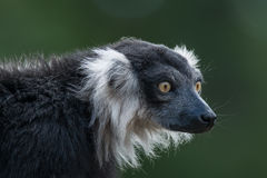 Portrait of black and white ruffed lemur at smooth background Stock Photography