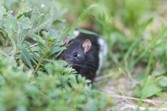 Black and white sewer rat outside Royalty Free Stock Photos