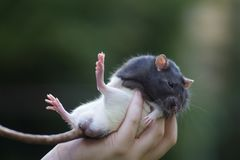 Black and white sewer rat outside holded in hand Stock Images