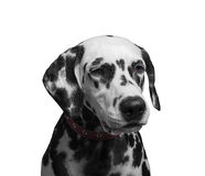 Portrait of a black and white spotted dalmatian dog breed in the Stock Photos