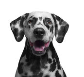 Portrait of a black and white spotted dalmatian Stock Photography