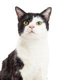 Portrait Black and White Tuxedo Cat Stock Image