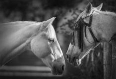 Portrait of two white horses in black and white. Portrait in black and white of two horses looking each other with a fence between them royalty free stock photography