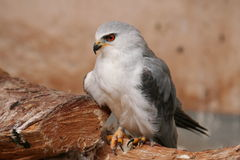 Black-winged Kite portrait Royalty Free Stock Images
