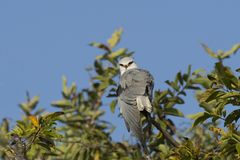 Portrait of Black-Winged Kite on a Branch stock photography