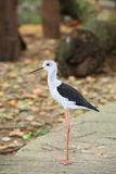 The portrait of Black-winged Stilt Royalty Free Stock Photo