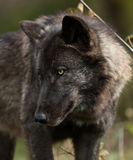 Portrait of a black wolfe looking down toward it's right Royalty Free Stock Photos