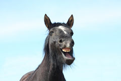 Portrait of black yawning horse. Portrait of black horse with white stripe yawning Stock Image