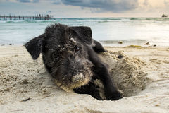 Portrait of a black yorkshire terrier on the beach, playing by dig sand with perfect twilight sky. And sleep look to camera stock image