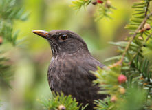 Portrait of a Blackbird Stock Photos
