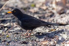 Portrait of a blackbird Stock Photos