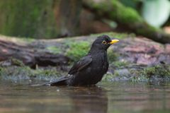 Portrait of a blackbird Stock Images