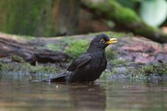 Portrait of a blackbird Stock Photo