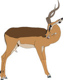 Portrait of a blackfaced impala, standing, head back, side view. Hand drawn vector illustration isolated on white background Royalty Free Stock Photo