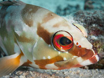 Portrait of a blacktip grouper Stock Photography