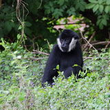 Portrait blanc-cheeked de gibbon photographie stock