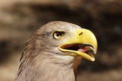Portrait Blanc-coupé la queue criard d'Eagle (albicilla de Haliaeetus) Photos libres de droits