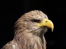portrait Blanc-coupé la queue d'aigle Image libre de droits