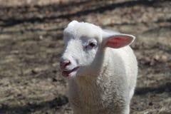 Portrait blanc d'agneau de jeunes moutons d'isolement Photographie stock