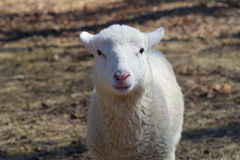 Portrait blanc d'agneau de jeunes moutons d'isolement Image stock
