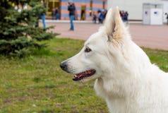 Portrait blanc de berger Photographie stock libre de droits