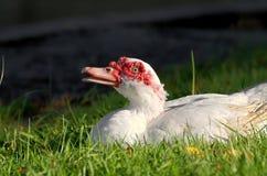 Portrait blanc de canard de Muscovy images libres de droits