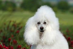 Portrait blanc de caniche Photo libre de droits