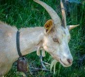 Portrait blanc de chèvre Chèvre de montagne alpine Photographie stock