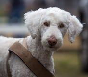 Portrait blanc de chien photographie stock libre de droits