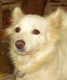 Portrait blanc de chien Photos stock