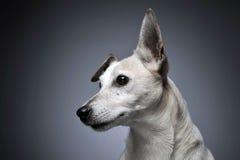 Portrait blanc de chien d'oreilles drôles à l'arrière-plan gradué Images stock