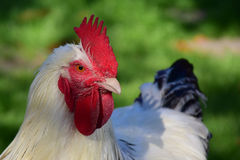 Portrait blanc de coq Photos libres de droits
