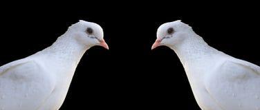 Portrait blanc de deux pigeons voyageurs d'isolement sur le noir Photographie stock libre de droits