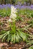 Portrait blanc de jacinthes des bois Images libres de droits