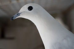 Portrait blanc de pigeon voyageur dans une cage Photo libre de droits