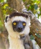 Portrait blanc de tête de lémur de Sifaka au Madagascar photographie stock libre de droits