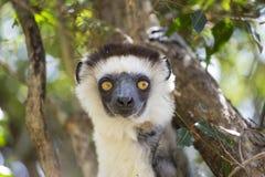 Portrait blanc de tête de lémur de Sifaka au Madagascar image libre de droits