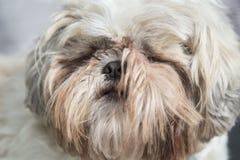 Portrait blanc velu de tête de chien de tzu de shi photos libres de droits