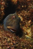 Portrait of blenny Stock Photo