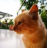 Portrait of a orange kitty, cat pet, looking to the left with detail of its head. Portrait of a blonde orange yellow furry feline kitty, lovely cat pet, looking stock images